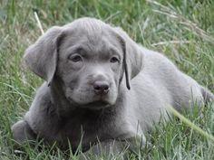 Silver Labrador Retrievers..   I want one!