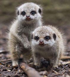 Edge Of The Plank: Cute Animals- Meerkats