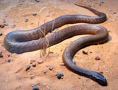 All recorded bites by the inland taipan to date have been to snake handlers and no deaths have been documented. If the situation is handled calmly, it can take hours before a serious paralysing effect presents in an adult bitten by a taipan or other venomous Australian snake. Using immobilisation and bandage pressure, you can buy yourself hours, if not days to get assistance. It is better to stay put and send for a chopper than try to walk out of the bush when bitten.