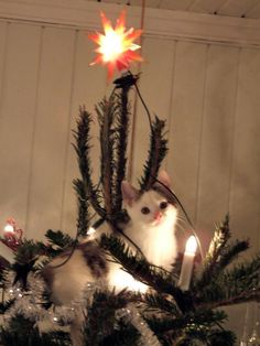 this is my cat Hokus, 8 weeks old in his very favorite spot. the top of the christmas tree. Cat Christmas Tree, Christmas Animals, Christmas Holidays, I Love Cats, Cute Cats, Funny Cats, Cat Costumes, Animal Pictures, Cats And Kittens