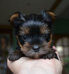 how adorable! Yorkie Puppy Dog Photography Puppies Doggie Pup Yorkshire Terrier