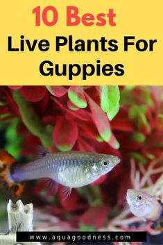 In this article, I'm will show you the best live plants for guppies. These plants include plants for guppy fry and some floating plants. Freshwater Aquarium Plants, Tropical Fish Aquarium, Tropical Fish Tanks, Live Aquarium Plants, Aquarium Fish Tank, Planted Aquarium, Freshwater Fish, Live Plants, Aquarium Garden