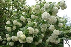Viorne ou Boule de neige, merveilleux en fleurs