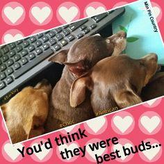 #BestBuds #Antican #Barkley #Choc #minpin #Chihuahua #family #dogs #MinPinCountry #Cute #MammasBoys