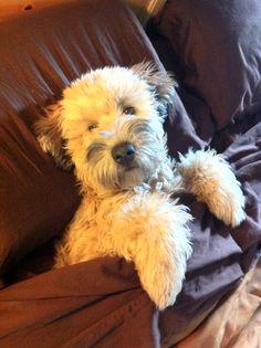 Soft Coated Irish Wheaten - looks like Miss Mollie O'Shamrock when she was a puppy :-)