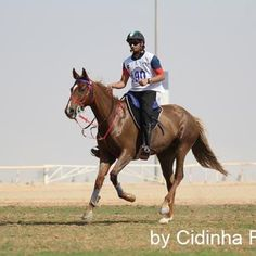 HM SANTA CLAUS endurance horses riding at UAE race