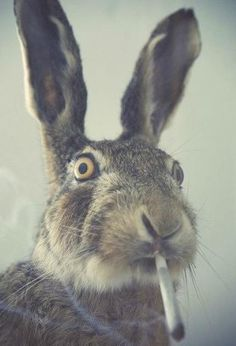 Poor rabbit...this is what nicotine does to rabbits?!!! Why...hopefully it's photoshopped:(...I'm not laughing.