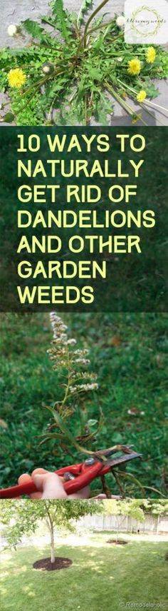 Gardening Hacks Pest Control Tips How to Control Pests in Your Garden Gardening Pest Control Natural Pest Control Organic Pest Control Gardening Tips and Tricks Natural G. Garden Weeds, Lawn And Garden, Indoor Garden, Outdoor Gardens, Garden Tips, Organic Vegetables, Growing Vegetables, Get Rid Of Dandelions, Beautiful Gardens