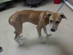 05/10/16--HOUSTON- -EXTREMELY HIGH KILL FACILITY - -This DOG - ID#A458709 I am a female, yellow and white Labrador Retriever. The shelter staff think I am about 7 months old. I have been at the shelter since May 10, 2016. This information was refreshed 36 minutes ago and may not represent all of the animals at the Harris County Public Health and Environmental Services.