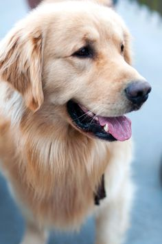 Gorgeous golden retriever | Samantha Brooke Photography