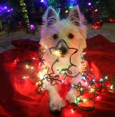 Westie Christmas Card Lights