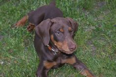 Our beautiful red doberman, Finley.
