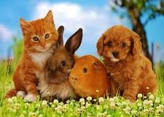 Cavapoo (Cavalier King Charles Spaniel X Poodle) Puppy with Rabbit, Guinea Pig and Ginger Kitten Valokuvavedos tekijänä Mark Taylor AllPosters. Cute Baby Animals, Animals And Pets, Funny Animals, Cute Animal Videos, Cute Animal Pictures, Netherland Dwarf Bunny, Ginger Kitten, Kittens, Cats