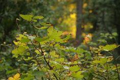 Omenaminttu: Kesäkurpitsapihvit ja jogurtti-omenakastike Plants, Flora, Plant, Planting