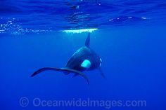 orca-30M1433-08.jpg (550×367)