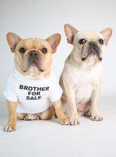 The major breeds of bulldogs are English bulldog, American bulldog, and French bulldog. The bulldog has a broad shoulder which matches with the head. French Bulldog Personality, French Bulldog Facts, French Bulldog Blue, French Bulldog Puppies, French Bulldogs, Every Dog Breed, Mundo Animal, Dog Shirt, Dog Love