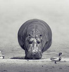 Hippopopopopo