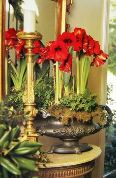 Red Amaryllis home red flowers pretty bloom decorate plant christmas bulb amaryllis