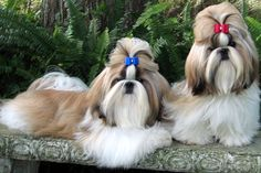 Find Shih Tzu puppies for sale with pictures from reputable dog breeders. Ask questions and learn about Shih Tzus at NextDayPets.com.