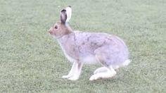 hare - Google-søk Hare, Rabbit, Google, Animals, Animales, Animaux, Rabbits, Bunny, Bunnies