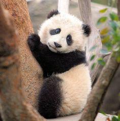 Climbing baby panda