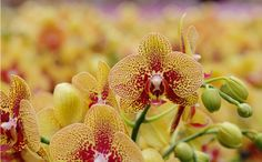 Remarkable yellow and burgundy orchid blossoms