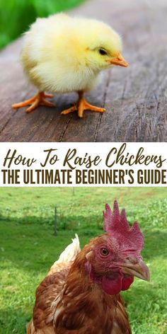How To Raise Chickens - The Ultimate Beginner's Guide - Heck, even for a SHTF situation, raising chickens is an awesome alternative for getting food once the grocery store shelves have run dry. As you can see, there are many benefits to learning how to raise chickens.