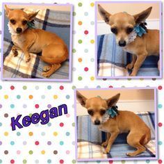 Keegan is a female chi that is a year old