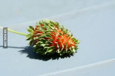 This strawberry that thinks that leaves are better than seeds. 20 Plants That Are Totally Confused Tiny Flowers, Exotic Flowers, Unique Flowers, Strawberry Seed, Bizarre, Weird Food, Black Eyed Susan, Weird Facts, Go Green