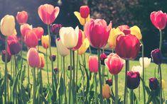 Boston Public Garden, Garden S, Tulips, Spring, Shadows, Flowers, Plants, Darkness, Florals
