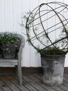 Large slider, Muehlenbeckia complexa Is so very happy that I managed to winter my slider. They have been wrapped in bub Container Plants, Container Gardening, Invasive Plants, Pot Plante, Perfect Plants, Garden Features, Garden Styles, Garden Projects, Garden Furniture