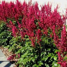 astilbe visions in red - Google Search