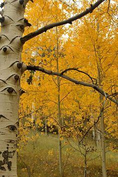 Aspen Trees Fall Colors, Colorado.....oh Colorado how I do miss you!!!!