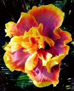 Hibiscus...so beautiful :)