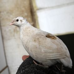 Vaktler - og hvorfor alle kan ha sine egne høner (flaggermusvinger)