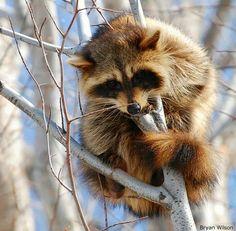 Cute little racoon.