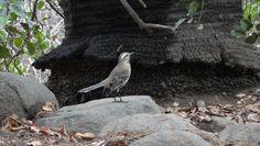 La Tenca (Mimus thenca) es un ave exclusivamente chilena, sólo se encuentra en nuestro país, por lo cual se dice que es de carácter endémico.Posee un hermoso y variado canto, conocida por imitar a otras aves. Acostumbra a pararse en las ramas más altas o en la misma punta de los árboles y arbustos. Ave típica de la zona central y muy asociada al Bosque mediterráneo