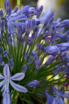 beautiful blue agapanthus