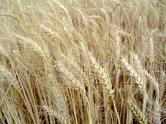 https://flic.kr/p/9JC57C | Lord of the Harvest 2 | Jesus said that an enemy had sowed weeds along with the crop. All they could do was allow both to grow up together, but when the Harvest comes the Lord of the Harvest will  separate the good wheat from the weeds and then burn all the weeds.