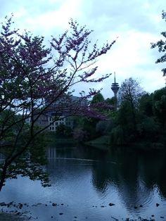 Lilac Tree at the Museum's Lake | Lilac tree blooming in spring at the lake in front of K21 art museum in Düsseldorf's Ständehaus. In the background you can see the Rhine Tower at Düsseldorf Media Harbor. Blühender Flieder am frühlingshaften Teich vor dem K21 im Düsseldorfer Ständehaus. Im Hintergrund ist der Rheinturm zu sehen.