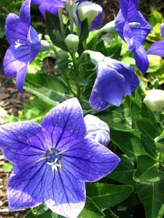 Balloon flower: Named for the shape of its buds, this long-lived perennial blooms from mid to late summer. Blue is its most common color, but white and pink selections can also be found. Balloon flower prefers moist, well-drained soil. Once established, it's virtually maintenance free. Don't divide; the fibrous root system can be tricky to transplant. USDA Hardiness Zones: 3 to 8