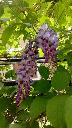 Day 95 #ΑνώνυμοςΒικιπαιδιστής #wikipedia #wikicommons #ΣχολείοΒικιπαίδειας #Βικιπαίδεια #ΣύλλογοςΣχολείωνΚοινότηταςΒικιπαίδειαςΕλλάδας #100wikicommonsdays : Γλυσίνα Plants, Blog, Planters, Plant, Planting