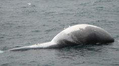 Rare deaths of endangered fin whales in Alaska puzzle scientists http://trib.in/1GymvB3