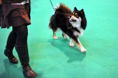 finnish Lapphund photo | An owner holds her Finnish Lapphund as he performs on the fourth day ...