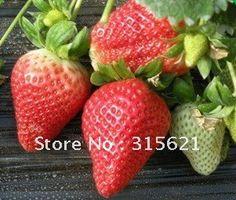 frete grátis big red sementes de morango alta taxa de sobrevivência 100 pcs