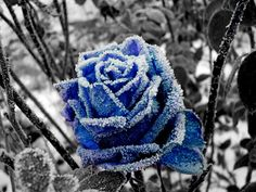 The Blue Winter Rose