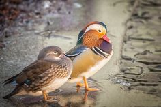Mandarina duck - Mandarina duck pair