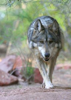 Decision to be made on Mexican gray wolves Endangered Species listing. We may hear something as soon as this weekend.