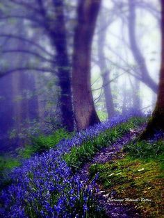 Bluebells in the forest rain by Charmiene Maxwell-batten Image Nature, All Nature, Beautiful World, Beautiful Places, Beautiful Pictures, Beautiful Forest, Beautiful Flowers, Tree Forest, Forest Rain