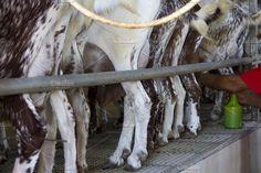 Milking goats in a farm Photos Goat milking facilities in a farm, livestock by agafapaperiapunta